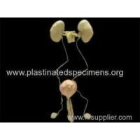 Buy cheap Male urogenital system medical specimens for sale from wholesalers