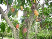 Buy cheap Cocoa Beans from wholesalers