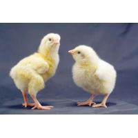 Chicken enzyme preparation Poultry complex enzymes