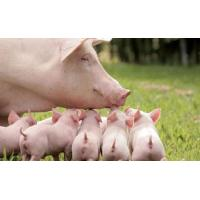 Buy cheap premix Premix for weanling pig from wholesalers