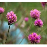 Buy cheap Herbal Extract Red Clover Extract from wholesalers