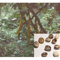 Buy cheap Mucuna Pruriens Extract from wholesalers