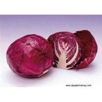 China Other Fresh and Frozen Vegetables 1 Product Title:Purple cabbage on sale