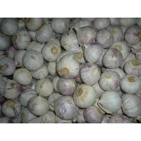 Buy cheap Solo Garlic for Dehydrated Material from wholesalers