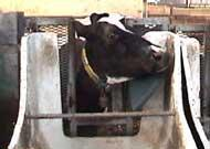Buy cheap Cow Feeding System from wholesalers
