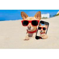 Buy cheap Chihuahua with mobile phone Wallpaper for Android, iPhone and iPad from wholesalers