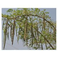 Buy cheap Thailand Dry Moringa Seed 1000g/bag from wholesalers