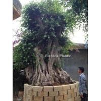 Buy cheap Ficus Microcarpa (big bonsai) from wholesalers