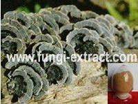 Buy cheap Coriolus Versicolor Extr from wholesalers