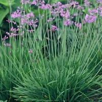 Buy cheap TRN309 Society Garlic ( Tulbaghia violacea ) from wholesalers