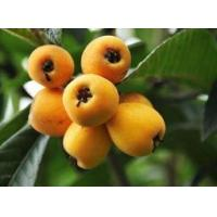 Buy cheap Loquat leaf Extract from wholesalers