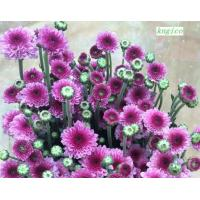 Buy cheap FF005 Fresh star pink chrysanthemum fresh flowers from wholesalers