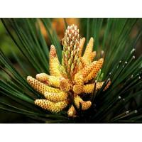 Buy cheap cell cracked pine pollen powder from wholesalers