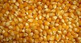 Buy cheap Seed corn NR 63 (FAO 280) from wholesalers