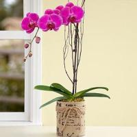 China Father'Day Potted Purple Orchid.No.23 send gift box to australia sydney on sale