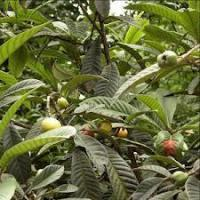 Buy cheap Natural Antioxidants Loquat Leaf Extract from wholesalers