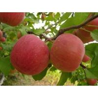 Buy cheap Anti-aging Apple Extract Model: H1014 from wholesalers