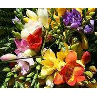 Buy cheap Flowers 20 Long Stemmed Freesias from Guernsey from wholesalers