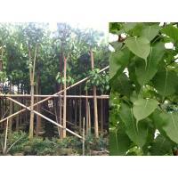 Buy cheap Ficus religiosa from wholesalers