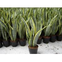 Buy cheap Sansevieria trifasciata from wholesalers