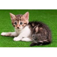 Buy cheap PET ARTIFICIAL GRASS FOR CAT from wholesalers