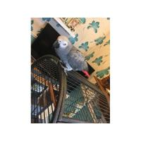 Buy cheap African gray parrot from wholesalers