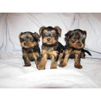Buy cheap 3 Beautiful Girl and boys Yorkie Puppies from wholesalers