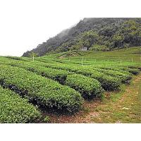 Buy cheap Oolong Tea Tea from Chilai Mountain from wholesalers