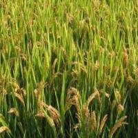 Buy cheap Good Rice Seeds Xiushui 134 from wholesalers
