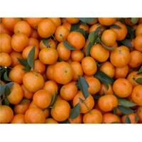 Buy cheap Fresh Foods Fresh Mandarin Orange GT8006 from wholesalers