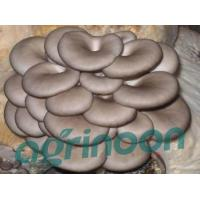 Buy cheap Fresh Oyster mushroom from wholesalers