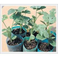 Buy cheap Agriculture Root Stock Seeds from wholesalers