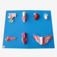 Buy cheap GD/A19002 Endocrine Organ Model(GD/A19002) from wholesalers