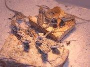 Buy cheap Bearded Dragon (babies) from wholesalers