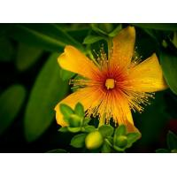 Buy cheap plant extract St johns wort extract Hypericin from wholesalers