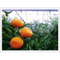 Buy cheap Plastic Film-house Cultivating Mandarin Oranges from wholesalers