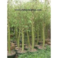 Buy cheap Bambusa Ventricosa-Bamboo-Buddha's Belly-Bonsai from wholesalers