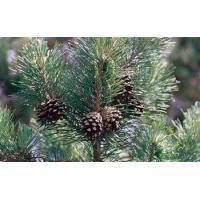 Buy cheap Natural Essential Oil / organic Pine Oil for Skin Care Product from wholesalers