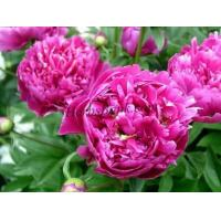 Buy cheap Peony Root Extract from wholesalers