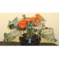 Buy cheap AFE research aims to protect gerbera from powdery mildew from wholesalers