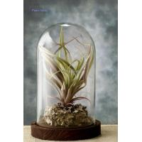 2015720104046Glass Bell Jar with Wood Base