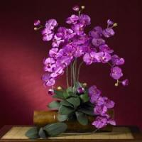 China 31 Phalaenopsis Stem (Set of 12 Stems - non Potted) - Orchid NN2044-OR-12 on sale