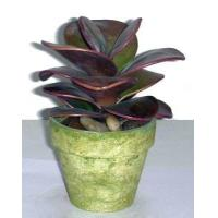 Buy cheap Tropical Succulents, Min Plants from wholesalers