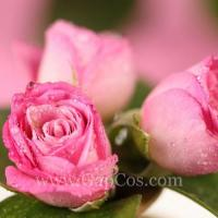 Buy cheap Rose Extract from wholesalers