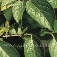 Buy cheap High quality Eucommia Ulmoides Extract Pure Chlorogenic Acid from wholesalers