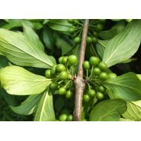 Buy cheap Cascara Sagrada Bark P.E. from wholesalers