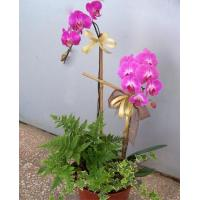 China Phalaenopsis Orchid Purple 2 Sprays on sale