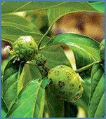 Buy cheap TROPICAL NONI CONCENTRATE from wholesalers