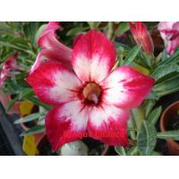 Buy cheap Adenium Hybrids--Lucky Star from wholesalers