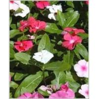 Buy cheap Vinca Rosea Leaves & Roots from wholesalers